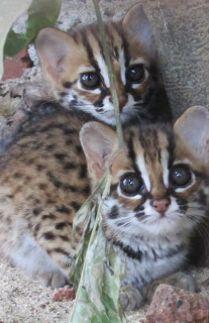 Koko Si Kucing Hutan